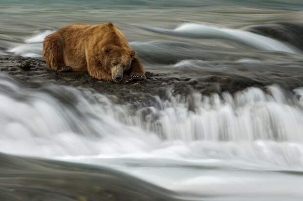 Медведь заснул, глядя на водопад