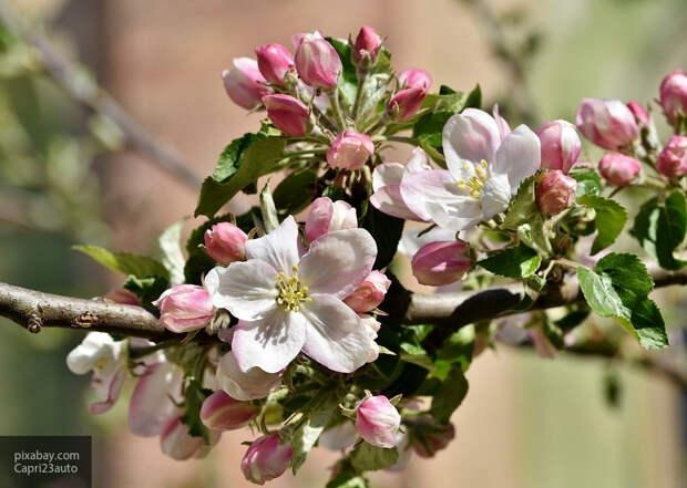 Садовод назвал главные причины плохого плодоношения яблони