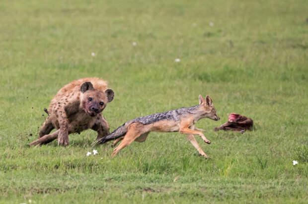 Особенности питания пятнистой гиены