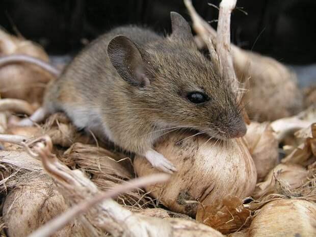мышь Животные