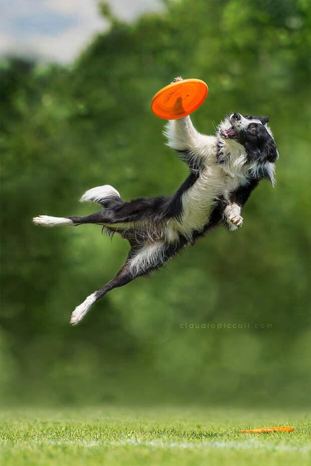 Супер собаки в фотографиях Клаудио Пикколи 36