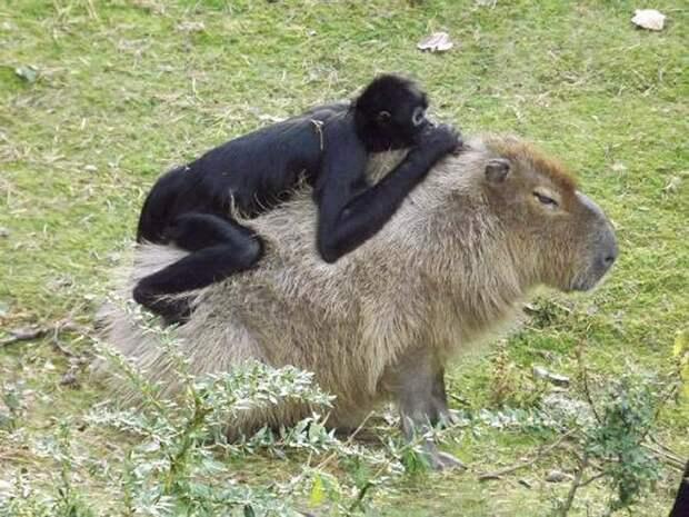 Все животные  (даже крокодилы)  тащатся от капибар