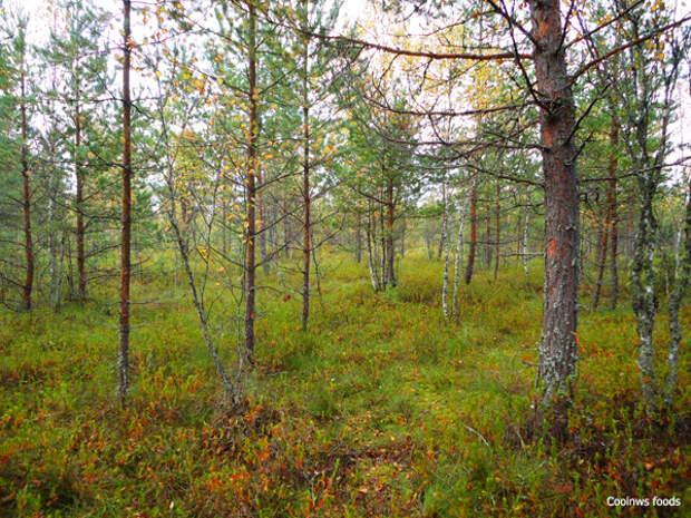 Лес в Новинке