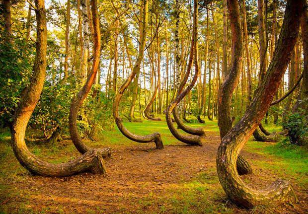 Изогнутый лес