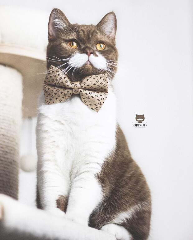 6 милых и немного серьезных фото усатого кота Гринго