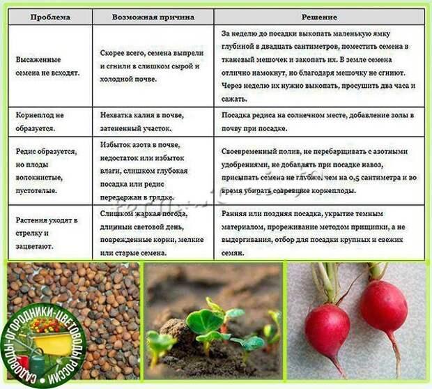 Проблемы при выращивании редиса и их решение