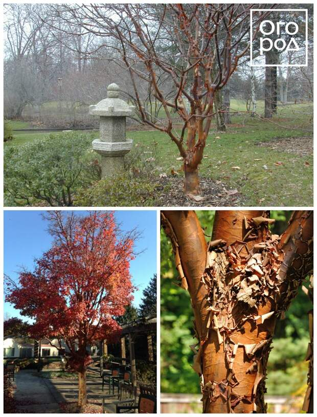 Клен серый (Acer griseum)