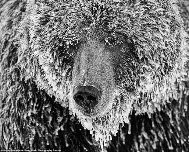Медведь гризли на Юконе - Марко Дмитриевич, Швейцария