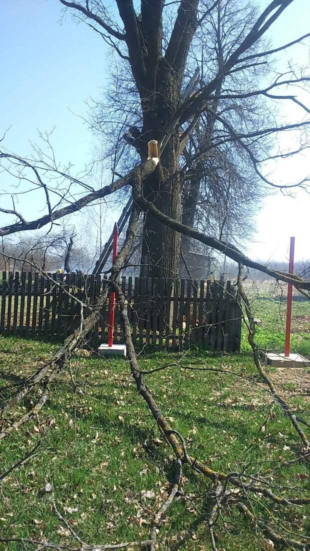 Как я ветки дуба срезал, нависающие над линией электропередач.