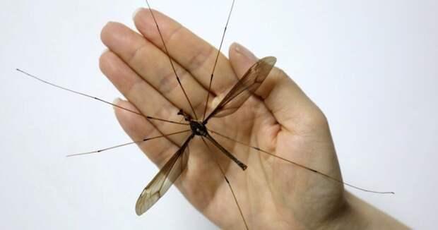 В Китае обнаружен комар-рекордсмен пугающих размеров