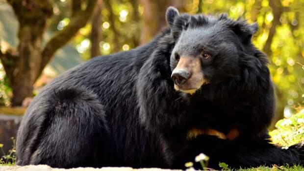 Гималайский медведь выглядит пушистым