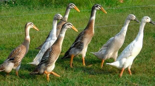 Вот так бегуны должны выглядеть в итоге. брудер, индийский бегун, утки, утки в домашних условиях