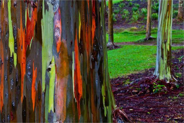 Радужный эвкалипт в Кауаи, Гавайи