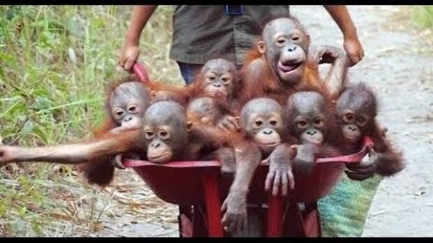 Смешные обезьяны Приколы про обезьян Funny monkeys #1 (Макаки ...