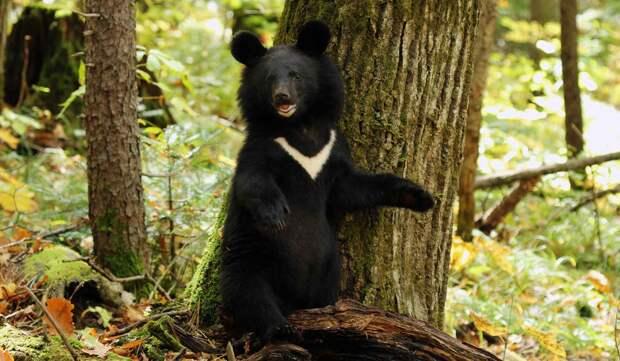 Гималайский медведь – обладатель знака луны.