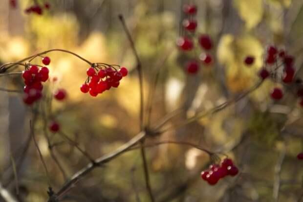 калина осенью
