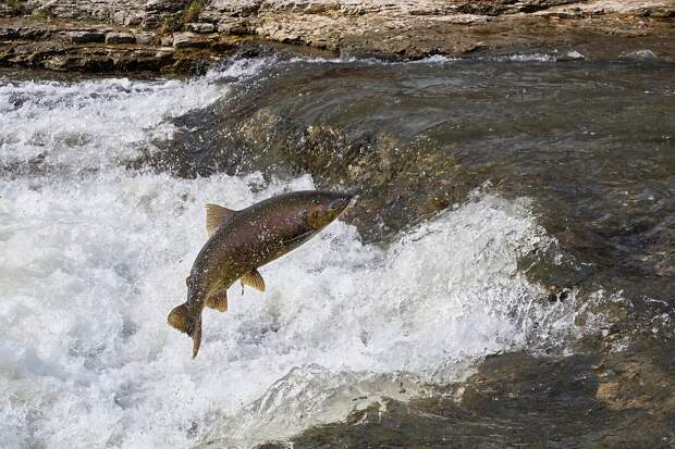 Как живёт чавыча: 6 особенностей из жизни королевского лосося