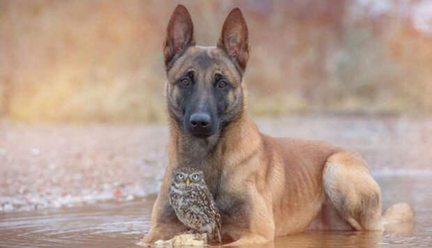 Собака и сова, которые не могут жить друг без друга