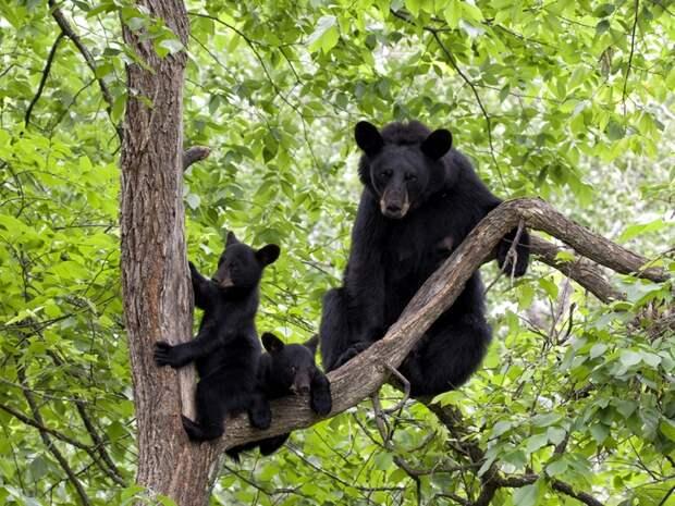 Барибал-медведь-Описание-и-образ-жизни-барибала-3