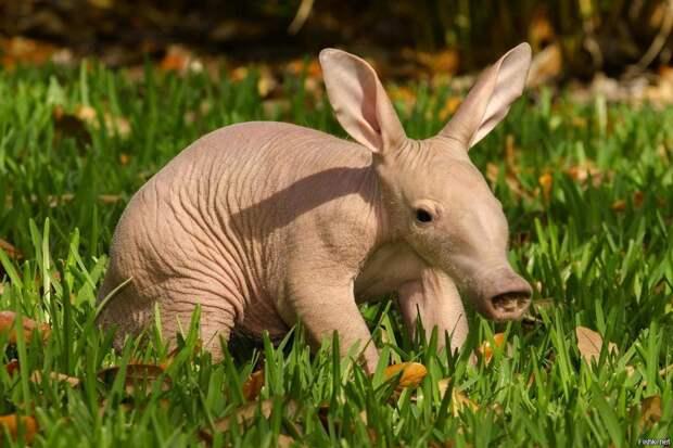Самые интересные животные мира. Трубкозуб