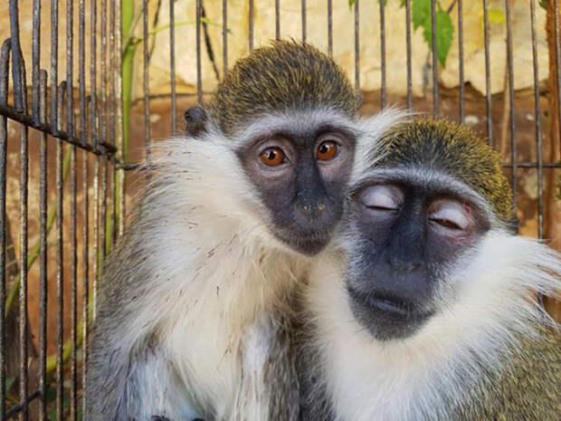Даже после того, как обезьянок освободили, они продолжали обнимать друг друга.