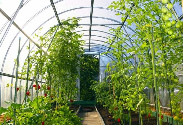 Growing vegetables in greenhouses made of transparent polycarbonate