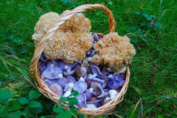 Рядовка фиолетовая - условно съедобный гриб