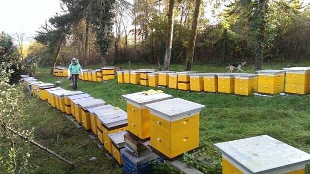 Зачем пчелам нужны в улье дармоеды и бездельники трутни. / Фото: ru.agroday.com.ua
