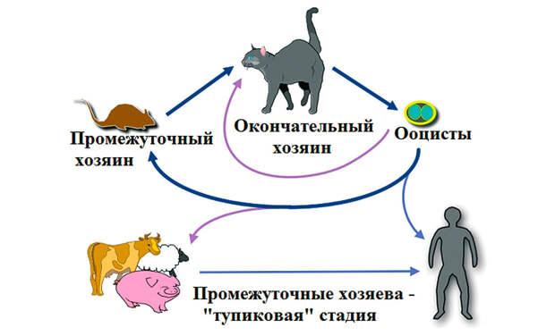 Цикл жизни паразита