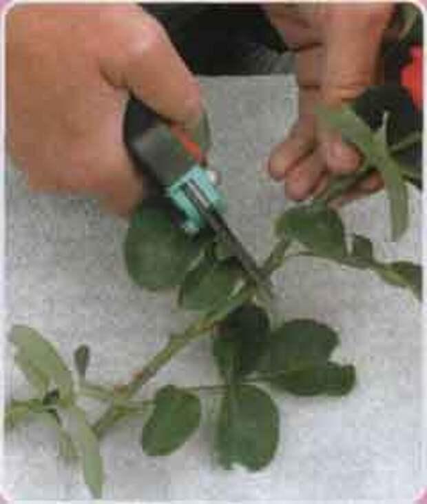 Нарезаем стебель розы на черенки