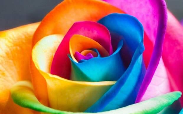 Красивая крашеная роза