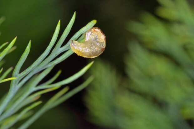 Личинка мухи-журчалки