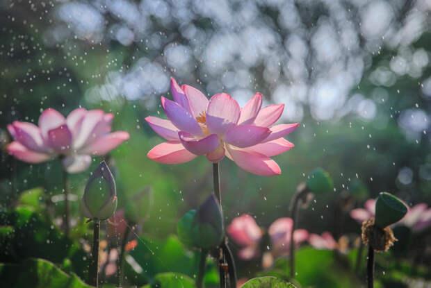 Фото: Chaiyun Damkaew. Кувшинки