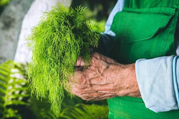 Густой зеленый укроп будет колоситься всё лето, если следовать правилам