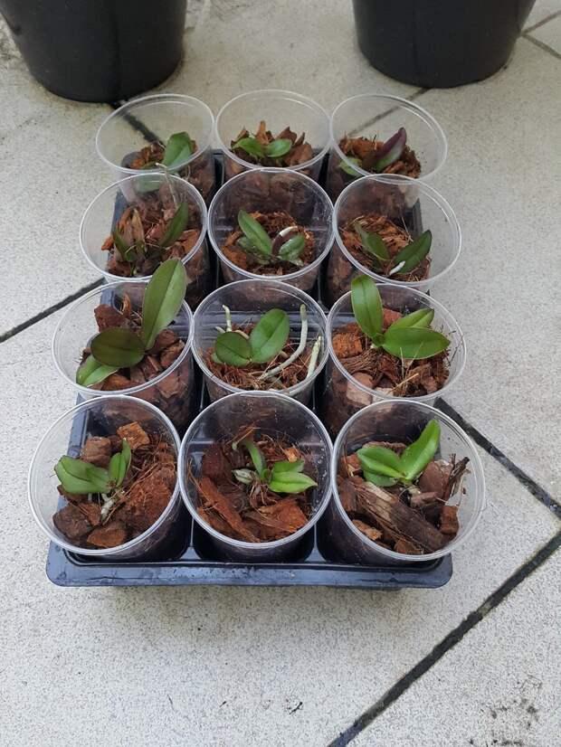 Как размножают орхидеи? Мой опыт